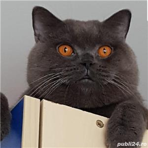 Pui British/Scottish Shorthair Blue  - imagine 1