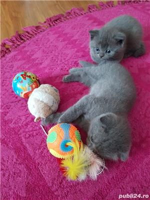 Pui British/Scottish Shorthair Blue  - imagine 6