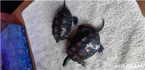 Broscuțe țestoase - imagine 1