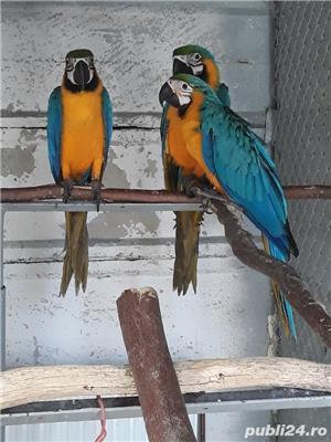 Papagal araarauna de vanzare - imagine 2