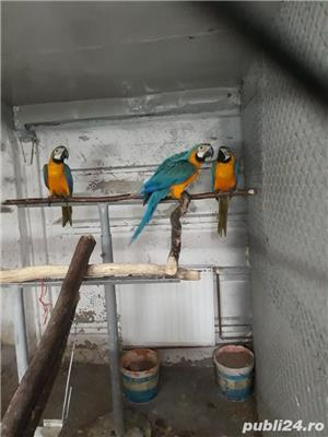 Papagal araarauna de vanzare - imagine 4