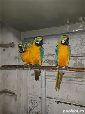 Papagal araarauna de vanzare - imagine 1