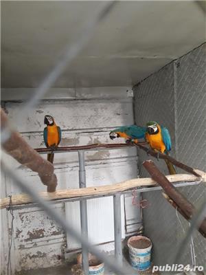 Papagal araarauna de vanzare - imagine 3