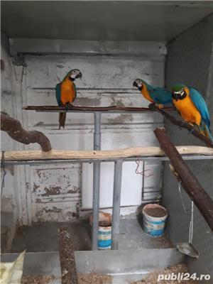 Papagal araarauna de vanzare - imagine 5
