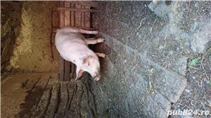 Porc bio - imagine 4