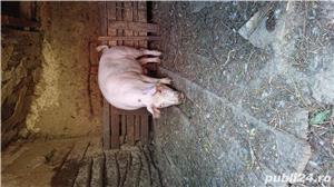 Porc bio - imagine 5