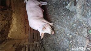 Porc bio - imagine 3