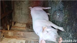 Porc bio - imagine 2