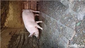 Porc bio - imagine 1