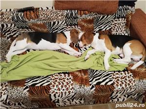 Căței Beagle tricolori. Dețin ambii părinți. - imagine 2