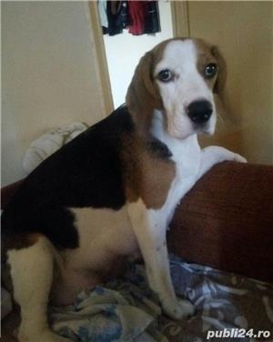 Căței Beagle tricolori. Dețin ambii părinți. - imagine 5