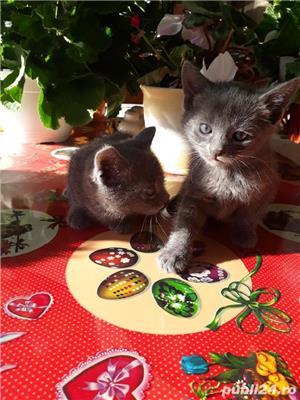 Vand pisici Albastru de Rusia  - imagine 6