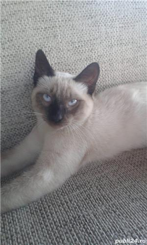 Vand pisica Birmaneza pret 200 lei - imagine 4