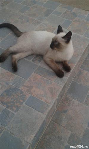 Vand pisica Birmaneza pret 200 lei - imagine 1