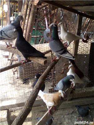 Porumbei germani - imagine 2