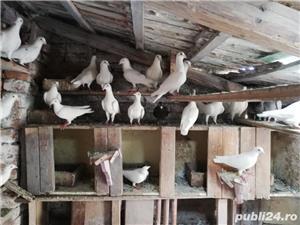 porumbei postasi albi schimb cu găini.  - imagine 2
