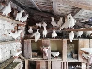 porumbei postasi albi schimb cu găini.  - imagine 4
