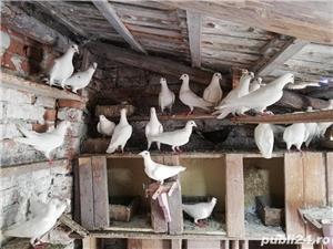 porumbei postasi albi schimb cu găini.  - imagine 3