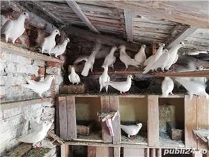 porumbei postasi albi schimb cu găini.  - imagine 1