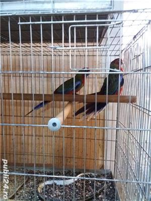 papagali toate rasele - imagine 2