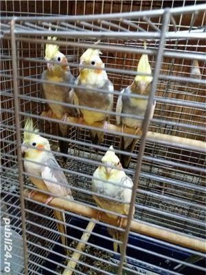papagali toate rasele - imagine 4