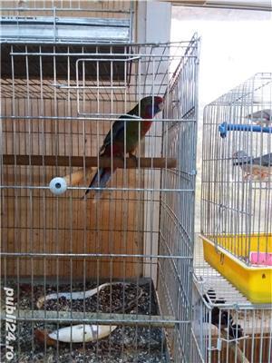 papagali toate rasele - imagine 3