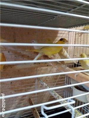 papagali toate rasele - imagine 7