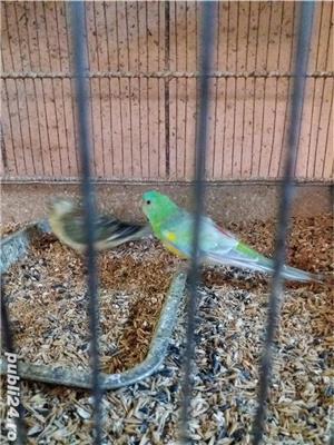 papagali toate rasele - imagine 6