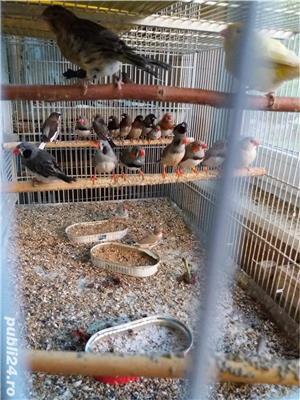 papagali toate rasele - imagine 8