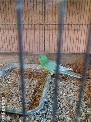 papagali toate rasele - imagine 10