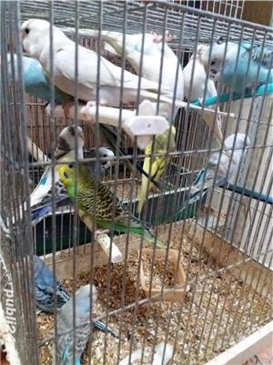 papagali toate rasele - imagine 9