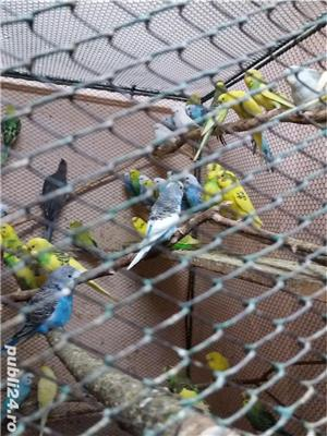 papagali toate rasele - imagine 11
