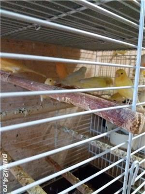 papagali toate rasele - imagine 12