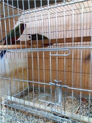 papagali toate rasele - imagine 13