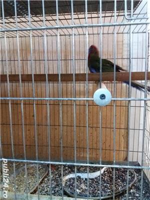 papagali toate rasele - imagine 14