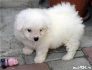bichon frise - imagine 5