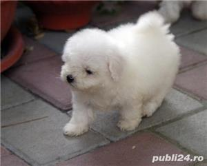 bichon frise - imagine 4