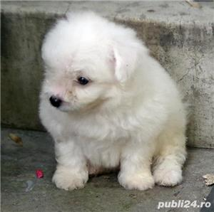 bichon frise - imagine 6