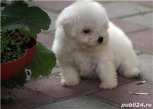 bichon frise - imagine 8