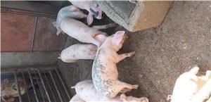 Porci de vanzare - imagine 3