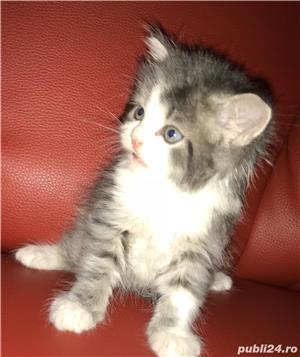 vand pui pisici norvegiana de padure de exceptie crescuti in casa - imagine 4