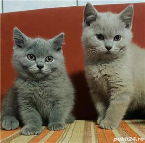 Vand british shorthair!! - imagine 1
