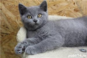 Vand british shorthair!! - imagine 2