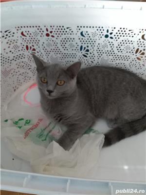 vanzare fetita british shorthair blue - imagine 2