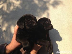 Pui labrador retriever pe negru femele si masculi!! - imagine 2