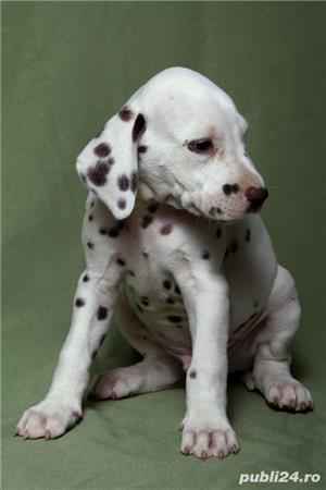 Pui de dalmatian!! - imagine 1