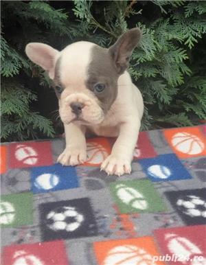 Pui de buldog bulldog francez alb blue/alb albastru/alb gri - imagine 1