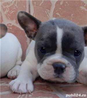 Pui de buldog bulldog francez alb blue/alb albastru/alb gri - imagine 4