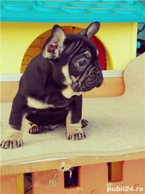 Pui de bulldog buldog francez black and tan black&tan - imagine 2