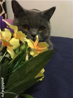 Motan British Shorthair - imagine 3